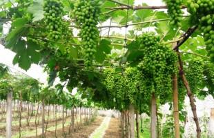 Variedades precoces de uva começam a ficar maduras