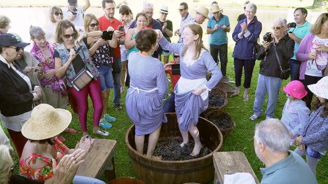 Na época da vindima, turistas se divertem com a tradicional pisa das uvas copy