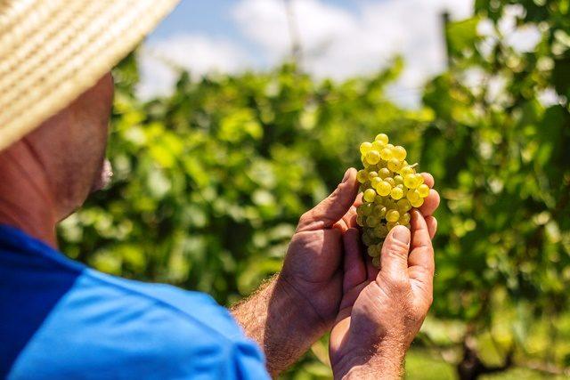 A Chardonnay é uma das primeiras uvas colhidas. Variedade será utilizada para elaboração de vinhos e espumantes Crédito: Dandy Marchetti, divulgação