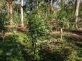 Primeiros resultados do diagnóstico nutricional dos ervais são conhecidos