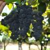Venda de uvas no Parque de Eventos da Festa da Uva segue até março