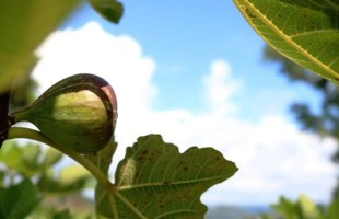 Produtores caxienses investem no cultivo de figo
