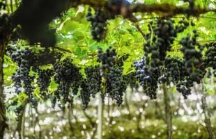 Safra da uva deve encerrar nos próximos dias em Caxias do Sul
