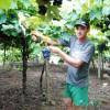 Safra da uva começa em Caxias do Sul com estimativa de 50 mil toneladas
