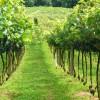 Abertas as inscrições para exposição de uvas