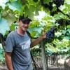 Safra de uva em Caxias do Sul supera expectativa e pode chegar a 86 mil toneladas