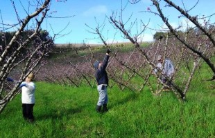 Acúmulo de horas de frio deste inverno não preocupa mais os fruticultores da Serra Gaúcha