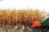 Chuvas recuperam de forma parcial lavouras de milho, que segue em colheita
